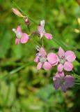 Mooie zuivere roze wildflower De tederheid van een bloem stock foto