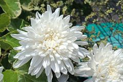 Mooie zuivere witte chrysanth stock afbeelding