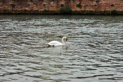 Mooie zwaan die stil in een cursus van water in Treviso wandelt stock foto
