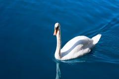 Mooie zwaan in het meer Royalty-vrije Stock Foto's