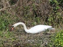 Mooie zwaan op nest door kant van rivier stock foto