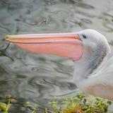 Mooie zwart-witte Australische pelikaan met rode bek stock fotografie