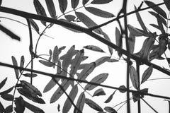 Mooie zwart-witte bladeren Stock Afbeelding