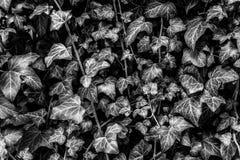 Mooie zwart-witte bladeren Stock Foto's