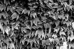 Mooie zwart-witte bladeren Stock Afbeeldingen