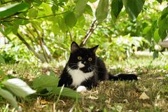 Mooie zwart-witte kat met gele ogen op een gras onder de boom Royalty-vrije Stock Foto