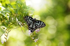 Mooie zwarte & witte bevlekte vlinder Papilio Royalty-vrije Stock Afbeeldingen