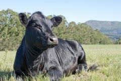 Mooie Zwarte Angus Royalty-vrije Stock Foto's
