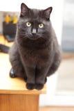 Mooie zwarte kat Royalty-vrije Stock Afbeeldingen