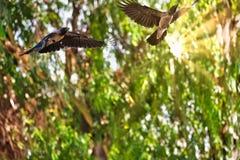 Mooie 2 Zwarte Kraaien die in een groen bos met Zichtbare Zonnestraal vliegen stock foto