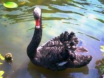 Mooie zwarte stellende zwaan stock fotografie