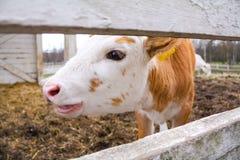 mooing在农场的母牛 免版税库存照片
