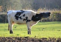 mooing的母牛 免版税库存图片