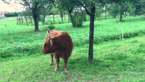mooing苏格兰高地的母牛 股票视频