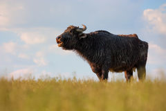 Mooing Buffalo Royalty Free Stock Images