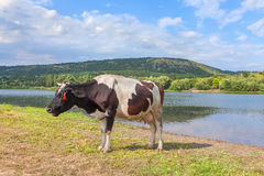 Mooing cow Stock Photo