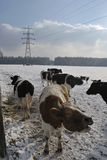 Mooing cow in the snow Royalty Free Stock Photography