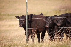 Mooing Cows Royalty Free Stock Photography