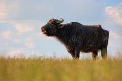 Mooingsbuffels Royalty-vrije Stock Afbeeldingen