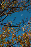 Moon and autumn tree Royalty Free Stock Photos