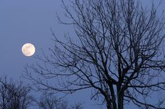 Moon and bare tree Stock Image