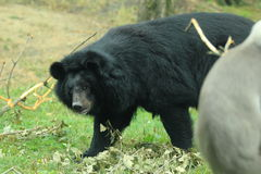 Moon bear Stock Images