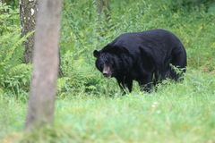 Moon bear Royalty Free Stock Images