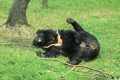 Moon bear Royalty Free Stock Photography
