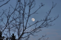 Moon behind branches Royalty Free Stock Photos