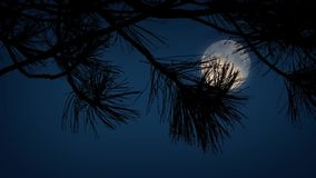 Moon Behind Spiky Tree Branches. Closeup of tree branches with a full moon behind them in the night sky stock footage