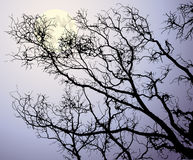 The moon behind tree branches Royalty Free Stock Photography