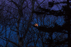 The moon behind trees Royalty Free Stock Photo