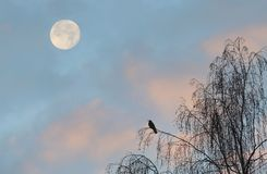 Moon and bird. The moon always attracts attention. Under different conditions, it looks differently. Moonrise may coincide with sunset. Then sunlit pink clouds Royalty Free Stock Image