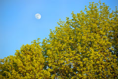 Moon in blue sky. Under foliage Stock Photography