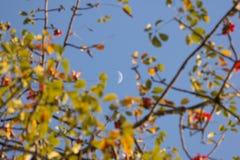 The Moon and Bombax ceiba tree. The Moon and Blur of Bombax ceiba tree Royalty Free Stock Photos
