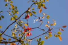 The Moon and Bombax ceiba tree. The Moon and Blur of Bombax ceiba tree Stock Photography