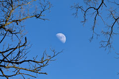 Moon among the branches Stock Images