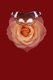 Moon butterfly with red rose. On dark background stock photo