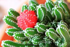Moon Cactus / Ruby Ball Stock Photography