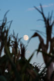 Moon through the Corn Royalty Free Stock Photography