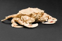 Moon crab in dark ambiance Royalty Free Stock Image