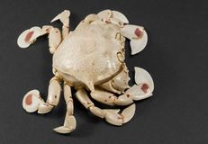 Moon crab isolated on black Royalty Free Stock Photo
