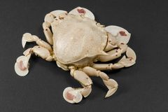 Moon crab isolated on black. Frontal shot of a moon crab in dark background Stock Image