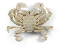 Moon crab in white back Stock Image