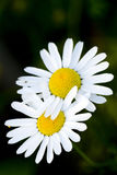 Moon-Daisy Royalty Free Stock Images
