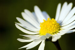 Moon-Daisy Royalty Free Stock Image