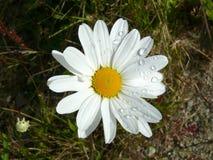 Moon daisy Stock Photo