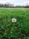 Moon Dandelion. Dandelion in the wild and grass. Beautiful nature Stock Photos