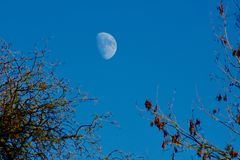 Moon in daylight in a clear blue sky. The moon on a clear blue sky between two trees on cold winter`s day royalty free stock photography