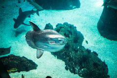 Moon fish and shark swimming in large sea water aquarium. Shark swimming in large sea water aquarium royalty free stock image